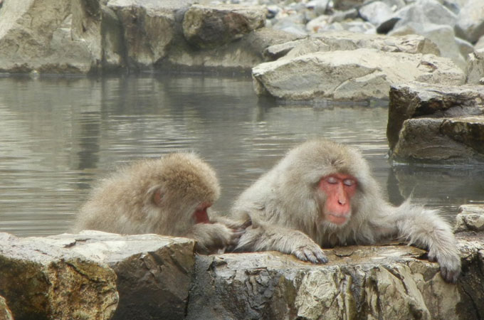 snow monkeys soaking in hot springs