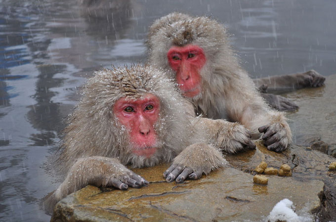 snow monkeys japan soaking in hot springs japan