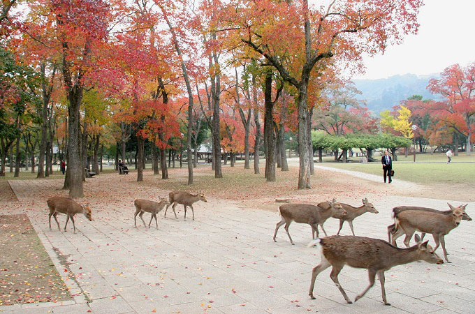 Sacred deer of Nara