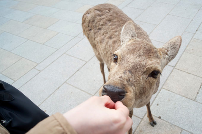 sacred-deer-of-nara-japan-1